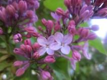 I love lilacs!